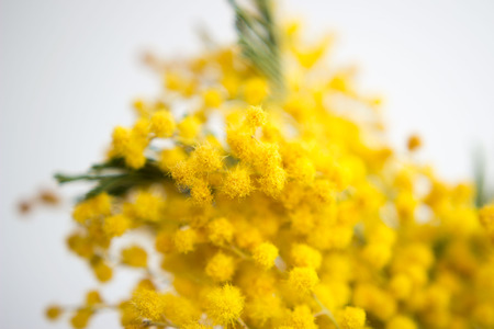 Spring still life. Yellow mimosa branch lies on a white background. silver silvergreen wattle Acacia dealbata