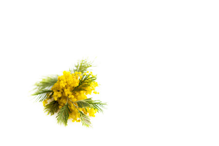 Spring still life. Yellow mimosa branch lies on a white background, isolated. silver silvergreen wattle Acacia dealbata Stock Photo
