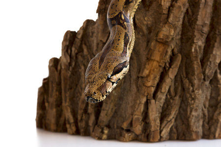 one-eyed snake boa constrictor slides on a wooden piece. visible healthy eye. on a white background
