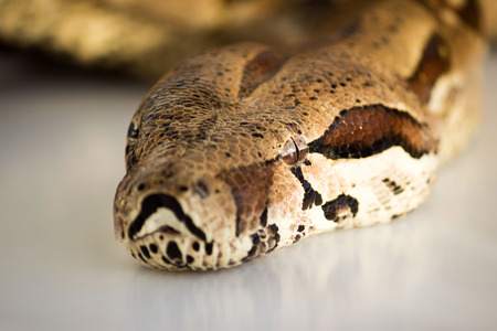 one-eyed snake boa constrictor. head macro close up. visible healthy eye. Stockfoto