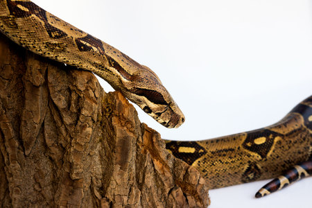 one-eyed snake boa constrictor slides on a wooden piece. visible damaged blind eye. on a white background
