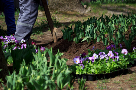 a male worker does small pits around a flower bed with a wooden cross-shaped device for planting seedlings of pansies flowers Viola tricolor. reportage
