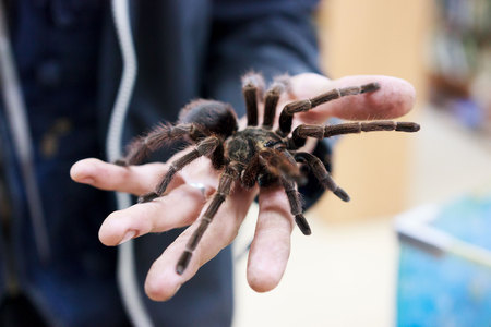 Spider tarantula Phormictopus auratus sitting on a hand. At the exhibition of exotic animals, contact zoo. reporting shooting Stockfoto