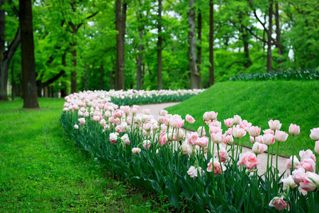 Group of overblown tender pink variegated multi-petalled tulips grows on a flower bed.Gatchina Park, flower hill Imagens