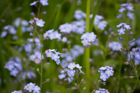 Wild flowers little blue forget-me-not flowers in Gatchina summer park