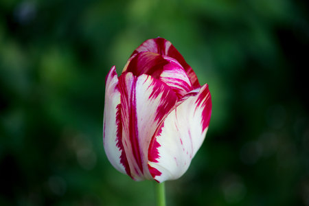 one blooming motley bright pink tulip with white veins on a flower bed