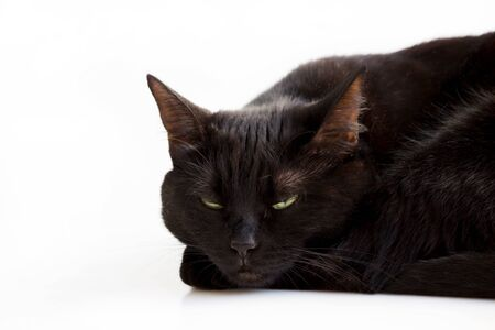Closeup portrait of a Halloween young black cat with green eyes lying with its head on its front paws, on a white background