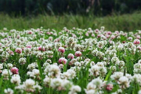 Trifolium repens and Trifolium pratense. A lawn densely overgrown with clover. grass shearing lawn mowers