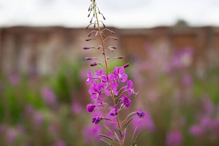 Pink Ivan Tea or blooming Sally in the field. Willow-herb at sunset against the background of ancient brick ruins
