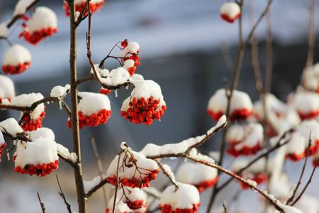 winter mountain ash. red berries on branches under the snow Banque d'images