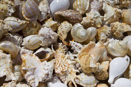 Seashells background. various empty shells of marine crustaceans in a tourist stall Standard-Bild - 143582930
