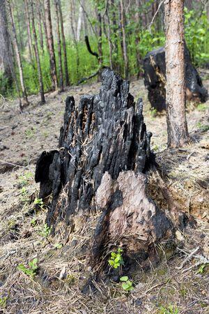 forest after a fire. Burnt tree stump Standard-Bild - 149692852