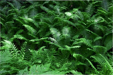 thickets of fern in the forest. leaves grow beautiful patterns, green background.