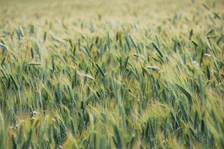rye field in the process of grain ripening. a whole field of green ears. August, Russia