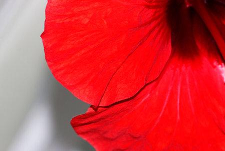 Macro of red hibiscus rosa-sinensis petals. red hibiscus petals close up. Tea from red petals.