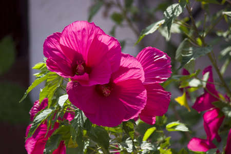 Pink malva Silvestris. Mallow. blooming musk mallow Malva alcea, cut-leaved mallow, vervain mallow or hollyhock mallow in summer Standard-Bild