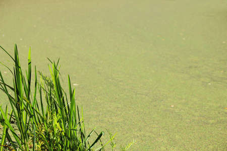 marsh duckweed and sedge as a green background for wallpaper. a bunch of green grass in the corner.
