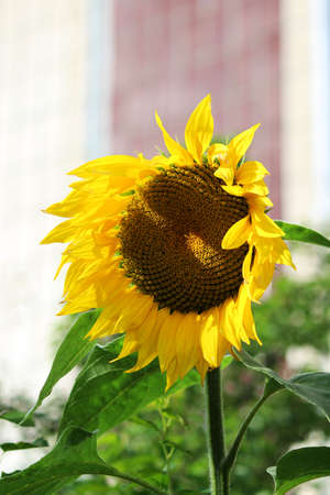 lonely sunflower flower that grew alone on a flower bed near the house. vertical photo