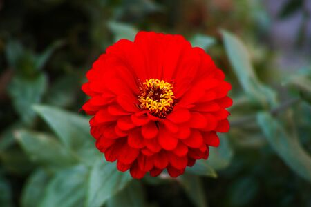 Large red zinnia flower with blurred out background