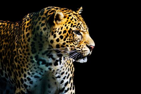 meow: leopard from the dark isolated