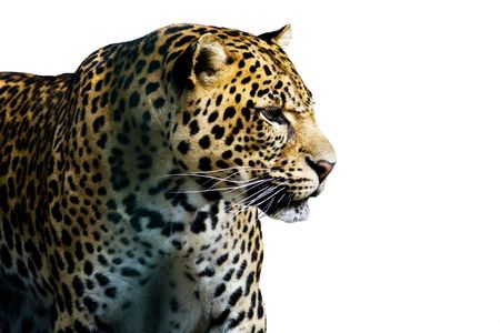 solated: leopard solated