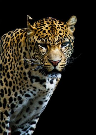 hunter playful: leopard from the dark isolated