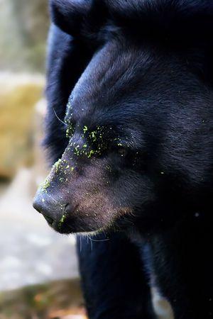 black bear: selvaggio orso nero americano