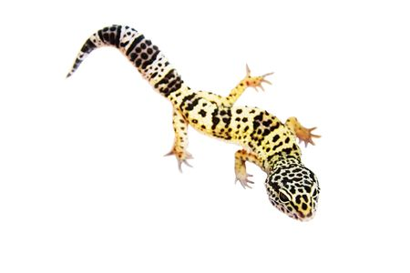 gecko on the wall white background photo