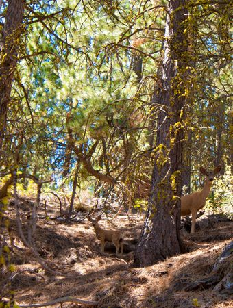 spoted: Mom and baby deer in the wild protected in newberry national volcanic monument Stock Photo