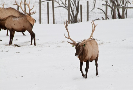 elk point: Elk farm in Northern Idaho after the first snowfall of 2010, beautiful animals