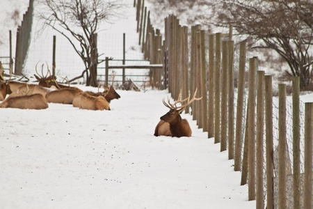 elk point: Laerge mature elk sitting next to the fence Stock Photo