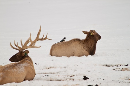 elk point: Two mature elk sitting on the snow covered ground, one with a small bird sitting on it
