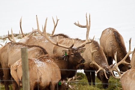 elk point: Elk farm in Idaho, beggining of winter some have already lost their horns Stock Photo