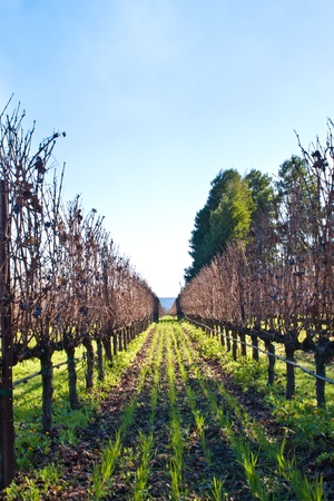 Many California Wineries dont pick all the grapes off the vines till late december, when they can make sweeter wines like dessert wines Stock Photo - 8544216