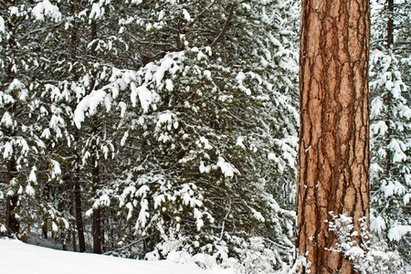 tall sugar pines in Oregon have a very distintive puzzle like bark photo