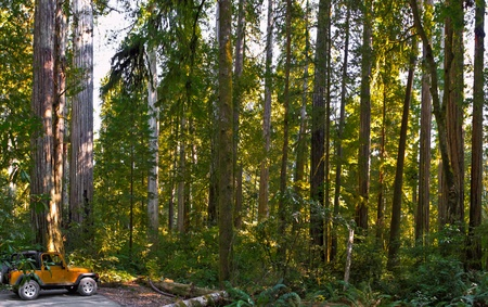 four wheel drive car in the red wood forest, some of the largest trees in the world photo