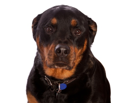 Isolated on white female rottweiler dog wearing a collar and tags photo