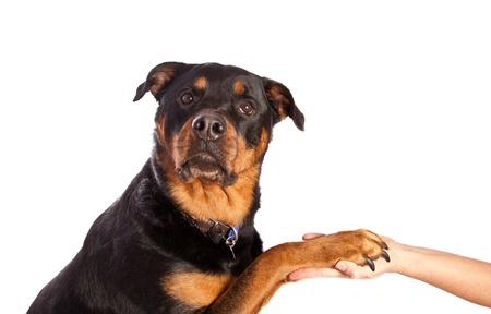 rottweiler: Isolated on white female rottweiler dog wearing a collar and tags