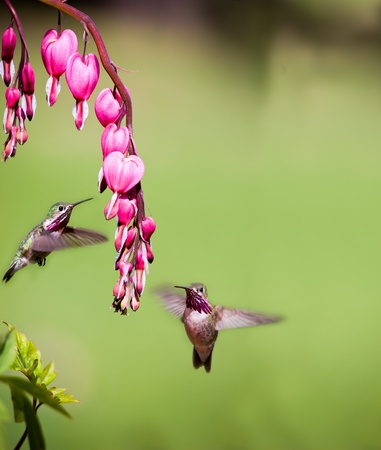tiny humming birds feeding in northern idaho