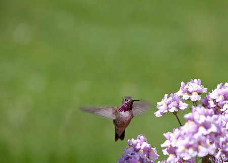 spring time in Idaho, small humming bird looking for nectar in flowers photo