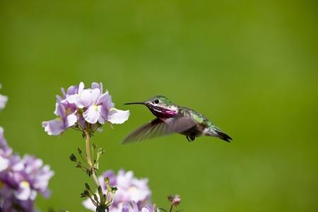 Printemps dans l'Idaho, colibri petite recherche de nectar dans les fleurs Banque d'images - 9694472