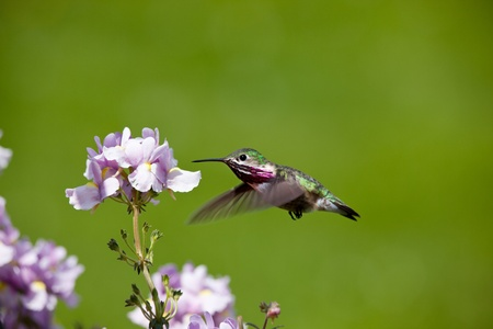 spring time in Idaho, small humming bird looking for nectar in flowers
