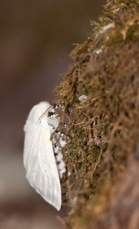 spoted: white spoted silk moth on a tree in north america
