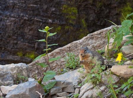 hoary: cute little marmot mid lunch in Glacier National park