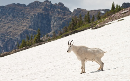 mountain goat laying on snow smiling and posing photo
