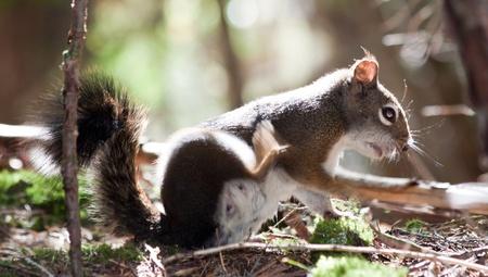 jeuken: bruine eekhoorn met een jeuk, krabben met haar achterbeen,