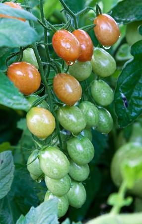 Home grown organic ripe tomatoes on the vine