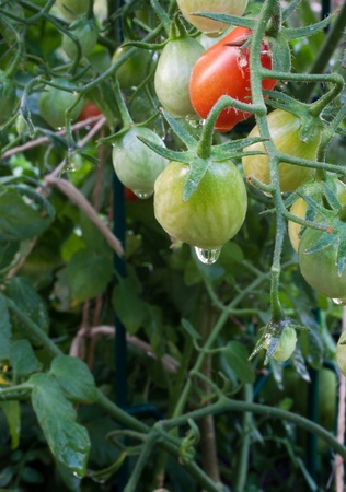 Home grown organic ripe tomatoes on the vine photo