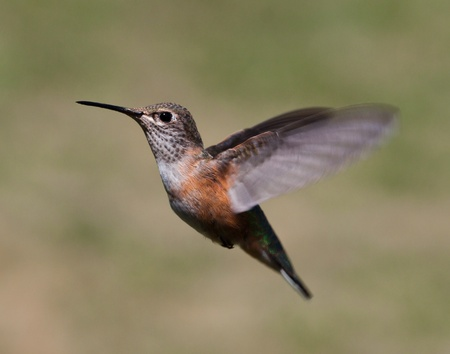 close up of a humming bird in mid flight with very bright and pretty colors photo