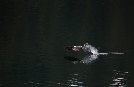 Bald eagle fishing on a lake with a dark reflective still surface photo